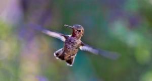 cuantos-aleteos-por-segundos-hace-un-colibri-jpg-imgw-1280-1280